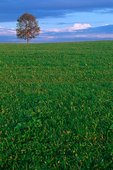 Germany Bavaria Fussen lone tree im meadow