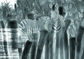 Zebras superimposed on a black and white pattern