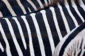 Closeup image of the black and white stripes of three zebras.